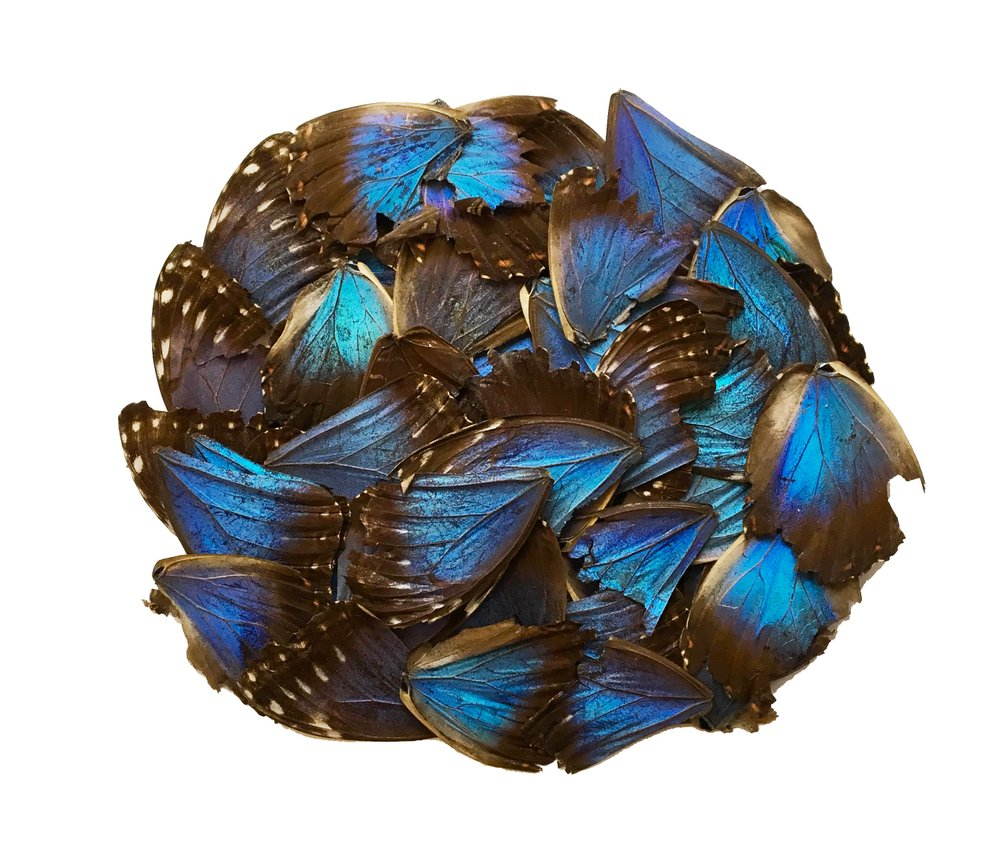 50 MORPHO WINGS (SCRAP)