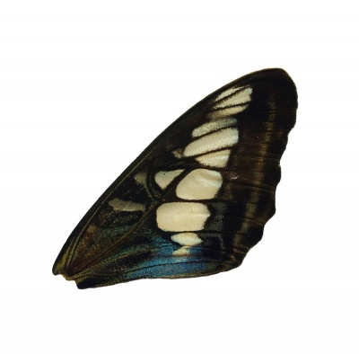 PARTHENOUS SYLVIA FRONT WING (BLUE)