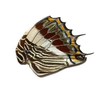 CHARAXES HIND WING