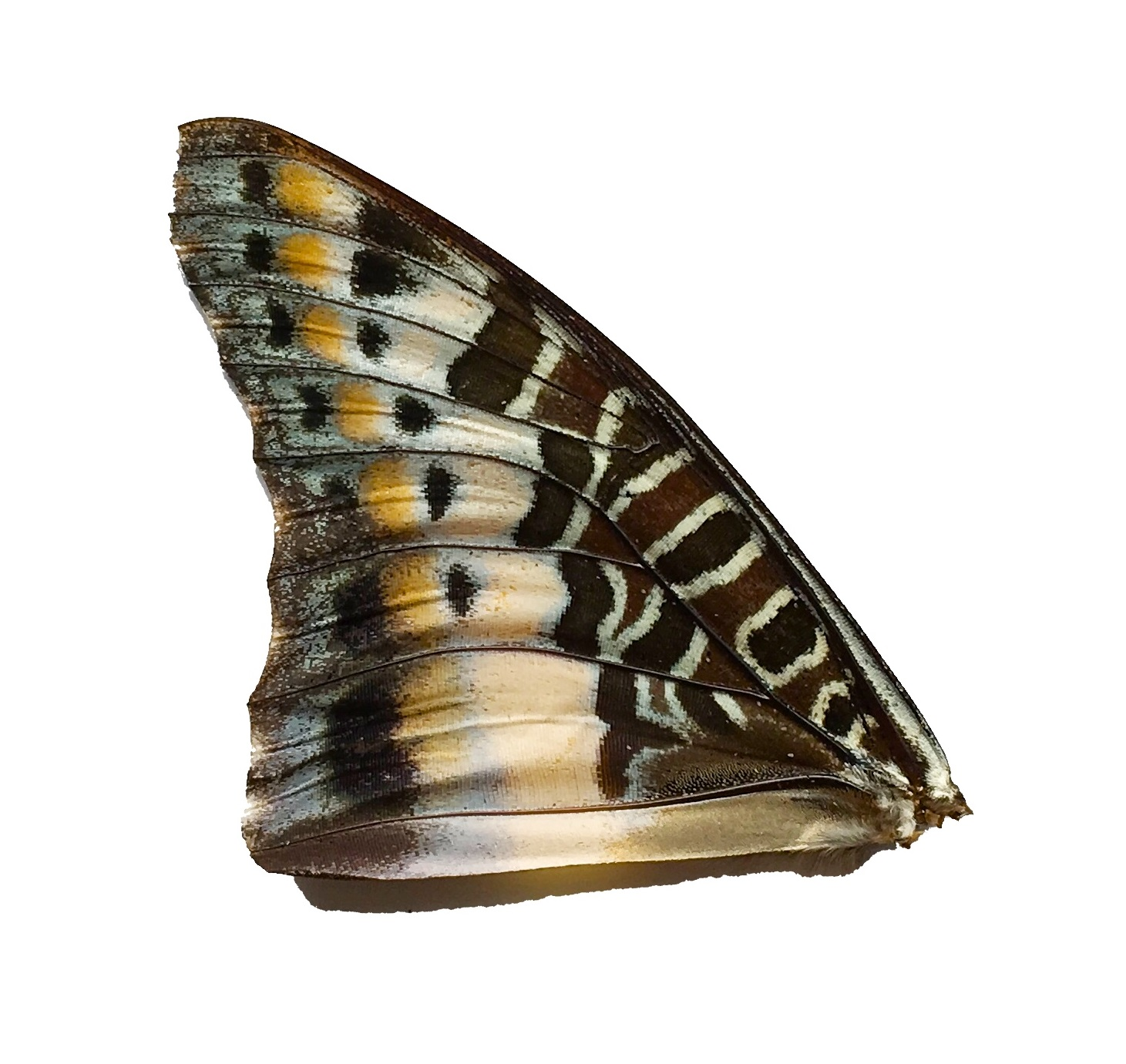 CHARAXES SP FRONT WING